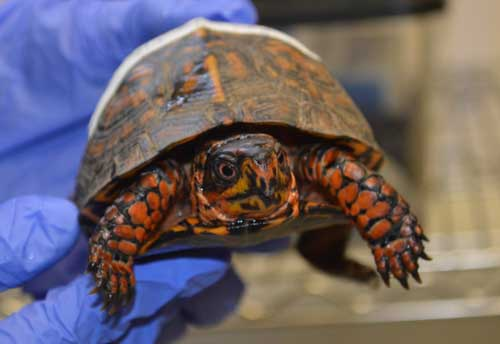 Summer pushes NC State's Turtle Rescue Team into high gear