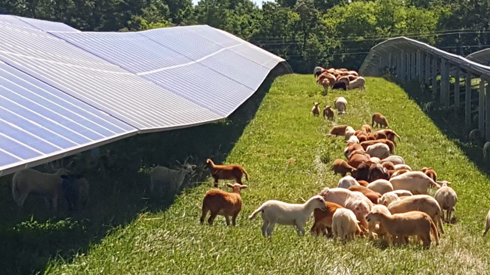 Got Sheep? Want A Solar Farm?