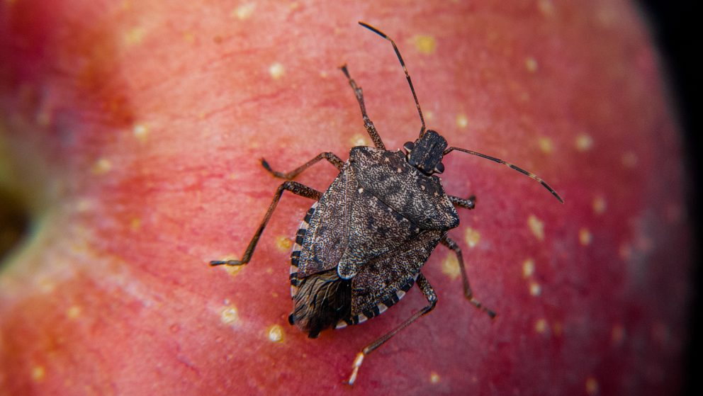 Project Promises New, Sustainable Tools for Fight Against Stink Bug