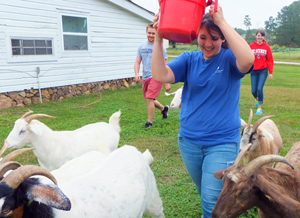 At Inter-faith Food Shuttle Farm, EcoVillage students moved goats to a new pasture.